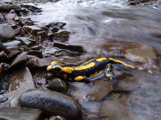 These yellow-spotted amphibians live near water springs and forest creeks (Foto: Nationalpark Kellerwald-Edersee)
