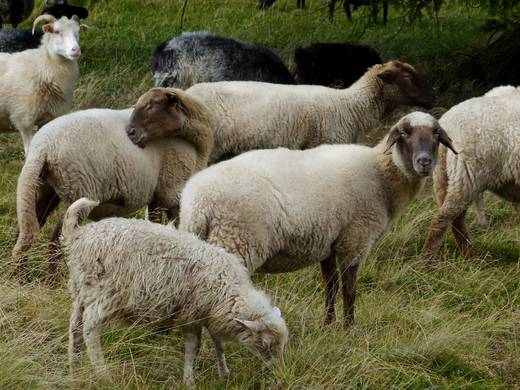 The care for and preservation of the heathlands in the National Park are aided by heathland sheep (Foto: Nationalpark Kellerwald-Edersee)