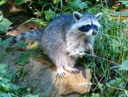 A raccoon in the Wildlife park at the Edersee