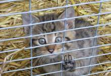 Wildcat in the Wildlife and Leisure Park Willingen