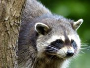 Raccoons also make their home at the Wildlife Park Edersee