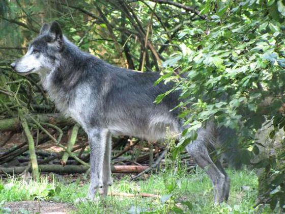 There are several wolves in the wolf enclosure of the Wildlife Park Edersee