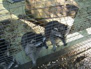 Raccoons in an enclosure in the Wildlife and Leisure Park Willingen