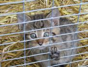 A young wildcat in the Wildlife and Leisure Park Willingen